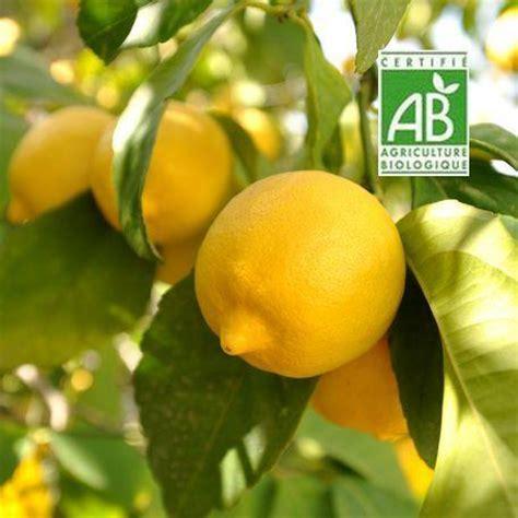 comment faire pousser un citronnier 224 partir de graines jardins