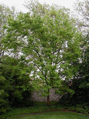 rubber tree st hardy rubber tree