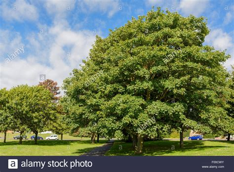 sycamore maple tree in a park during summer in the uk stock photo royalty free image 86061975