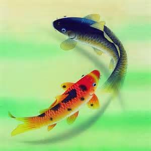 gold koi fish   bing images