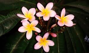 of flowers plumeria chafa flower flowers