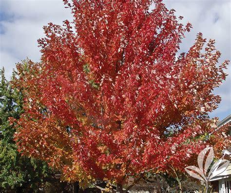 maple tree growing tips maple autumn blaze covingtons
