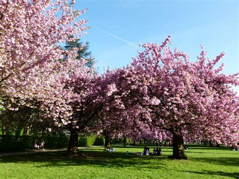 wiki cherry blossom upcscavenger
