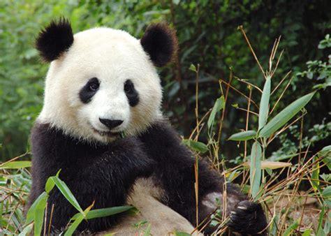 panda china panda in china animals wiki pictures