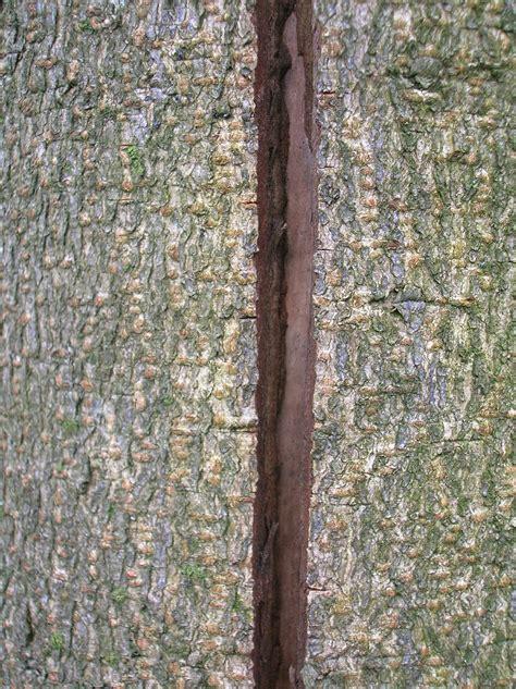 maple tree trunk splitting maple bark cracking bloodpoh