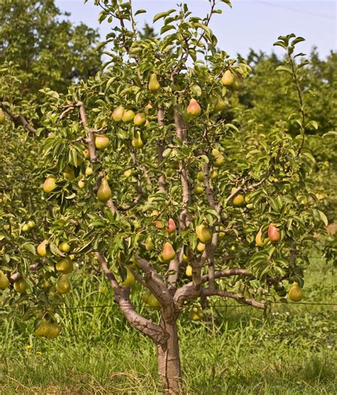 pear tree flowering varieties of pear trees you ll want for your garden