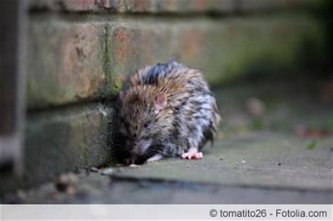 Wie Sieht Der Garten Aus by Wie Sieht Rattenkot Aus Infos Zu Gr 246 223 E Und Geruch