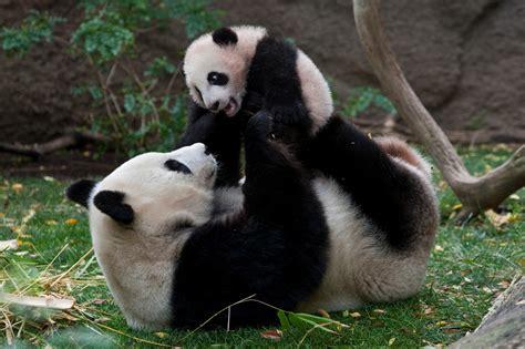 one panda panda habitat pandarific