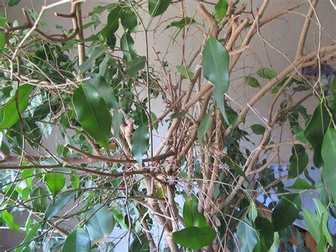ficus qui perd ses feuilles au jardin forum de jardinage