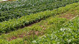 crop rotation home vegetable garden a guide to crop rotation vegetable families
