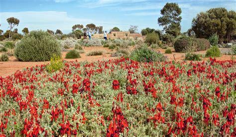 australian arid lands botanic garden the outback garden of port augusta australian traveller