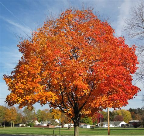 sugar maple tree wholesale for sale
