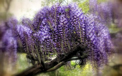 wisteria wallpaper wisteria hd wallpapers 13 flower wallpapers free