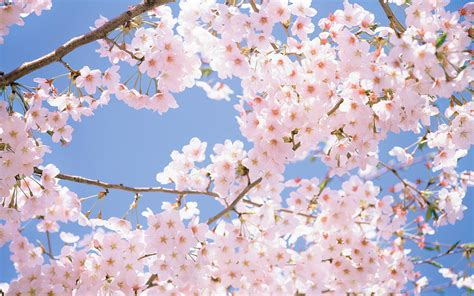 cherry blossom images cherry blossom backgrounds wallpaper cave