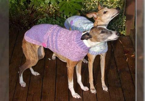 knitting for greyhounds this quit to knit sweaters for abandoned
