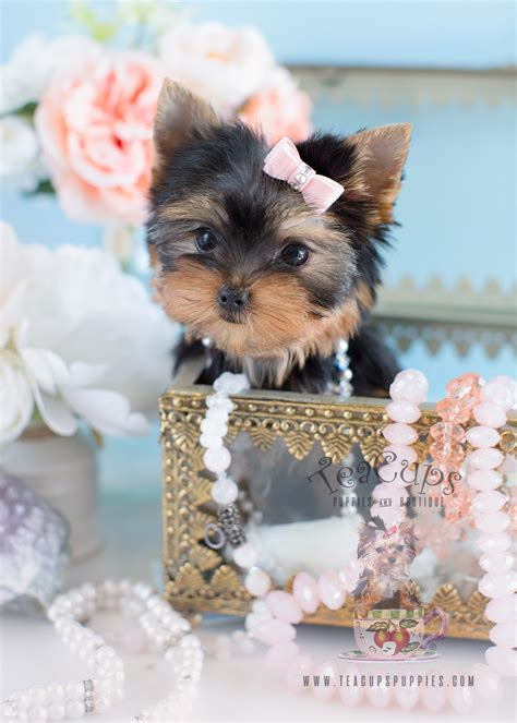 yorkshire terrier sale charming teacup yorkshire quot yorkie quot terrier puppies for
