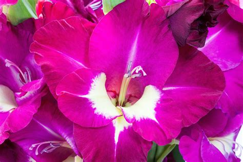 plant food that comes with flowers gladiolus how to plant grow and care for gladiolus
