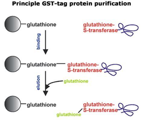 gst agarose chromatography agarose chromatography sepharose
