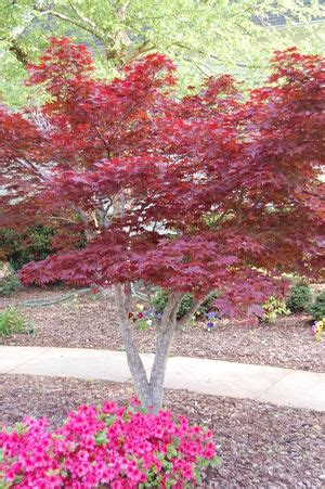 maple tree growing tips japanese maple care facts and growing tips
