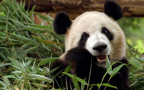 one panda endangered species pandas cyber srbin