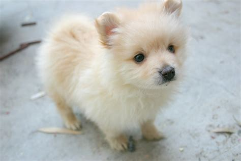 micro for sale teacup husky pomeranian puppies www imgkid the