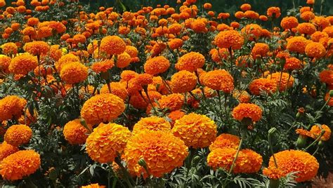 marigold flower garden free photo marigold flowers garden orange free image