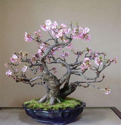 a cherry tree bonsai best 25 cherry tree ideas on