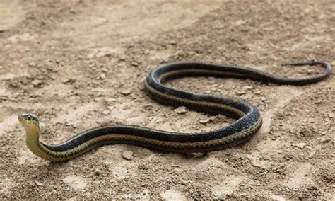 Garden Snake Florida Eastern Garter Snake Chesapeake Bay Program