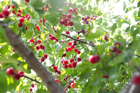 cherry trees george washington never chopped a cherry tree