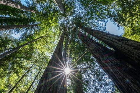 tallest tree in the world the world s tallest trees and beyond things to see and