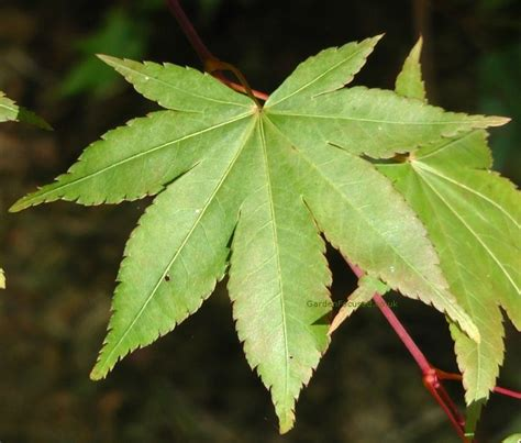 expert advice on growing japanese maple trees in the uk