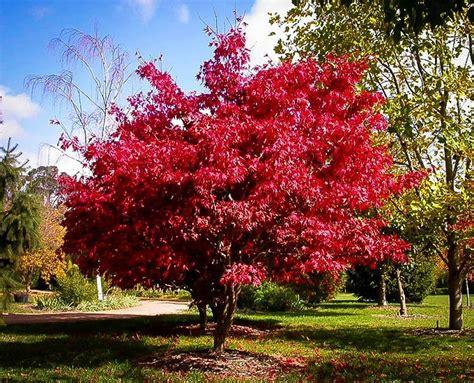 maple tree japanese osakazuki japanese maple for sale the tree center