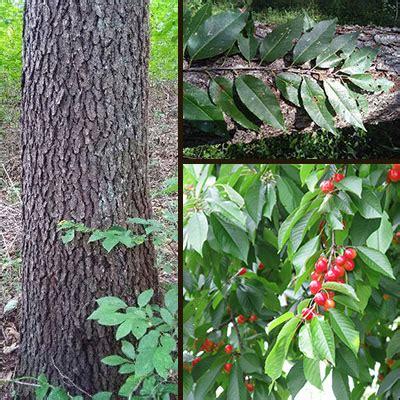 cherry tree identification black cherry learn how to identify a black cherry tree in indiana