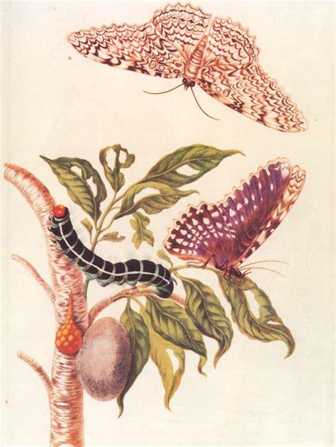 of a butterfly file metamorphosis of a butterfly merrian 1705 jpg