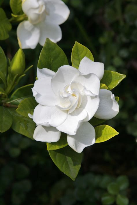 Gardenia Images Pruning Gardenias Tips For When And How To Prune A Gardenia