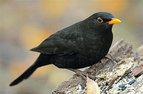 black bird filnore woods blackbird