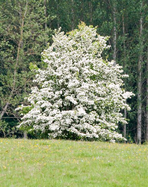 hawthorne tree hawthorn tree care tips for growing hawthorn plants