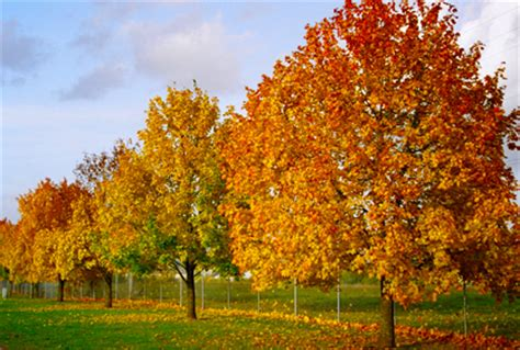 what type of maple tree do i 28 images types of maple trees lovetoknow types of maple
