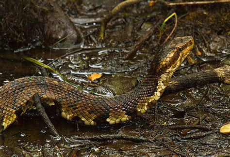 Garden Snake South Carolina Cottonmouth Snake At Francis Biedler Forest In South