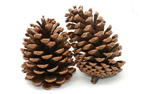 with pine cones škrinja kreativnosti pinecone