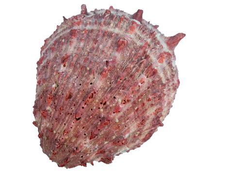 spiny oyster spiny oyster shell orange 1