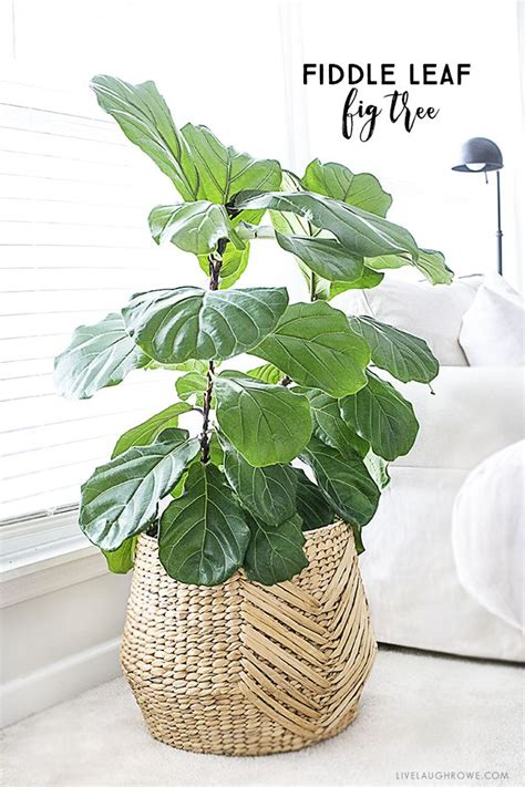 the best indoor plants best 25 large indoor plants ideas on plants