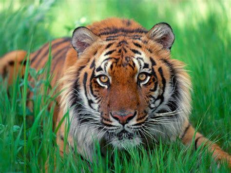 a tiger biodiversitywarriors sumatran tiger