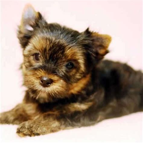 yorkshire terrier sale teacup yorkshire terrier for sale gloria teacup yorkies sale