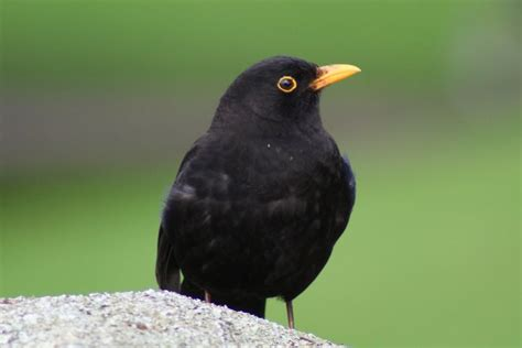 black bird 1000 images about common blackbird on