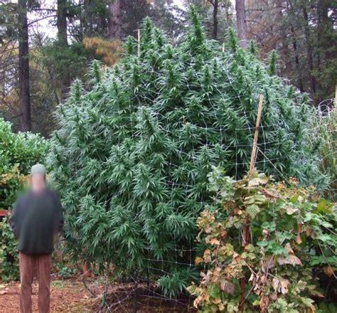 comment sortir les plantes de cannabis en ext 233 rieur du growshop alchimia