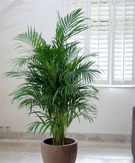 indoor palm areca palm tree for adding moisture in the air during
