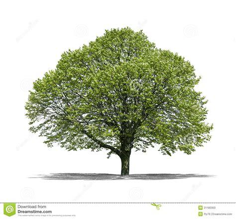 tree on white green tree on a white background stock image image 31183303