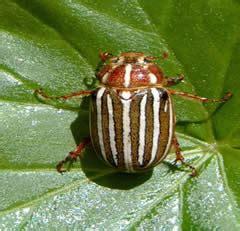 Garden Spider Hiss Ten Lined June Beetle Department Of Entomology