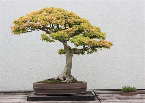 trident maple bonsai trees